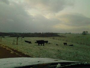 Crazy Cows laying down in the snow!